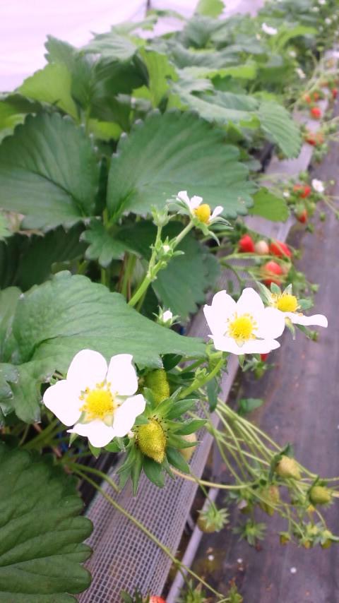 いちご花.JPG