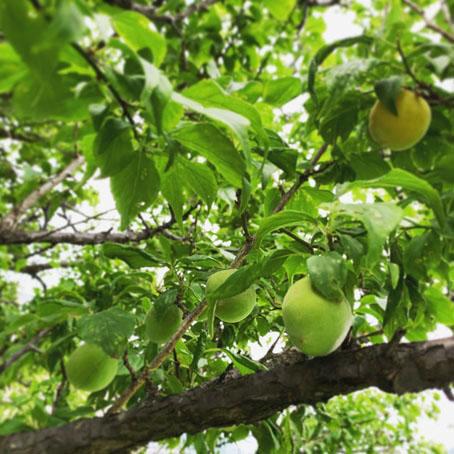 梅しごと収穫.jpg