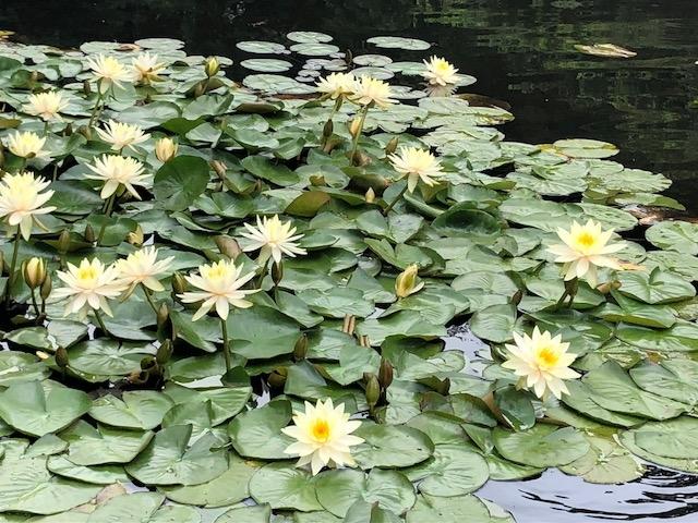 IMG_0595南池 蓮の花.JPG