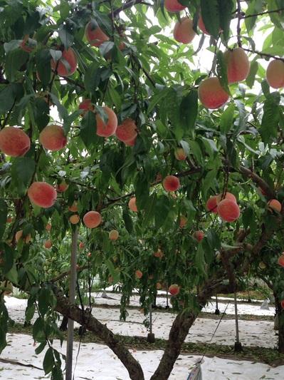 桃はうす.jpg